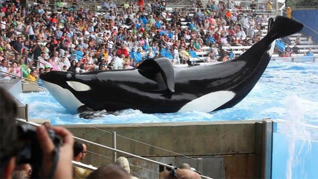 Apenas 1% das orcas que vivem em alto-mar tem a barbatana dorsal caída, sinal de estresse.